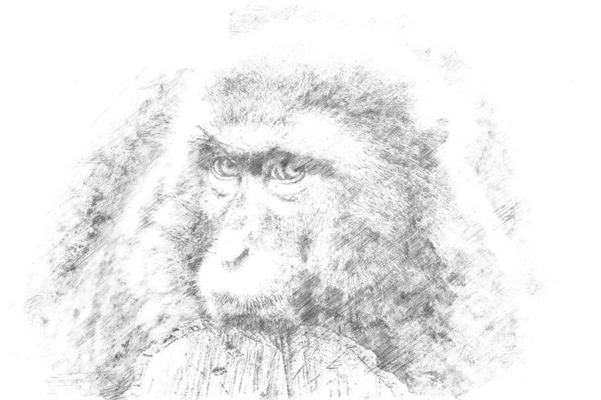 Sketch - A monkey looking sad into the camera Animal Close-up Day Drawing Drawings Hatching Human Face Looking At Camera Mammal Monkey One Person Outdoors Pencil Pencil Drawing People Portrait Sad Sadness Sketch Sketching Studio Shot White Background