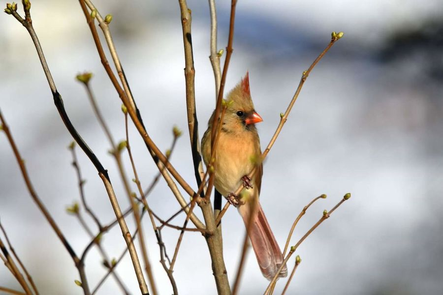 female cardinal pitched on a branch waiting her turn to get food at the feeder. Cardinal Bird Watching Birds Birds In The Wild Bird Animal Branch Animal Wildlife Songbird  Perching Nature Wilderness Outdoors