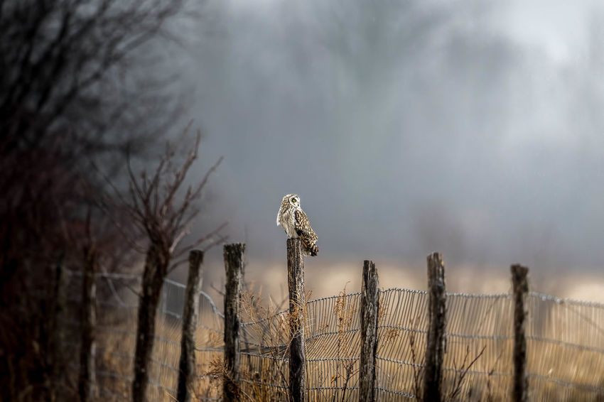 Short-eared owl dives or flying in flight with stretched wing. Short-eared owl, hunting the long grass Animal Animal Themes Animal Wildlife Bare Tree Barrier Beauty In Nature Bird Boundary Day Dead Plant Fence Focus On Foreground Nature No People One Animal Outdoors Plant Safety Short Eared Owl Sky Tree Vertebrate Wooden Post