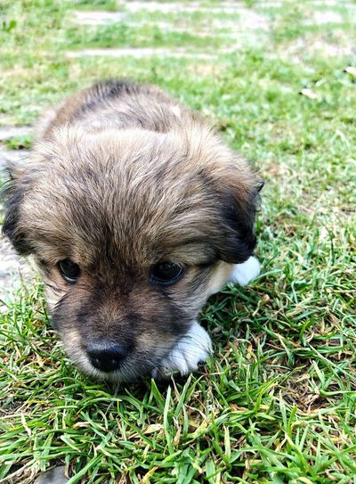 Puppy Baby Dog One Animal Grass Animal Themes Animal Plant Field Land Mammal Day No People Portrait Domestic Animals Outdoors Domestic Relaxation