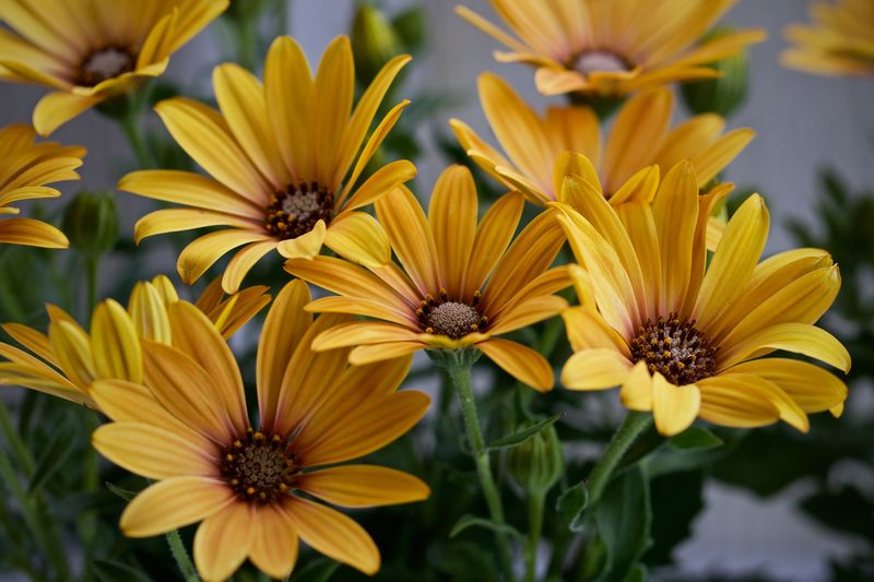 African Daisy Flower Petal Fragility Growth Nature Plant Beauty In Nature Flower Head Freshness Yellow Blooming Day Pollen Focus On Foreground No People Outdoors Close-up African Daisy