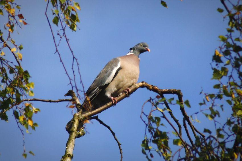 Duif Pigeon