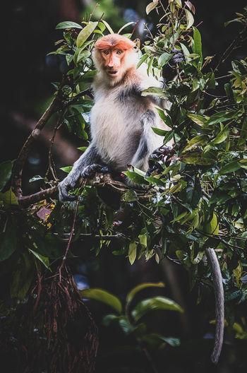 Proboscis Monkey Proboscis Animal Animal Family Animal Themes Animal Wildlife Animals In The Wild Branch Day Eyes Focus On Foreground Leaf Low Angle View Mammal Monkey Nature No People One Animal Outdoors Plant Plant Part Primate Sitting Tree Vertebrate