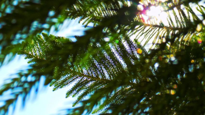 Tree Nature Low Angle View Beauty In Nature Green Color No People Pine Tree Branch Leaf Pinaceae Outdoors Growth Defocused Day Forest Sky Freshness Close-up