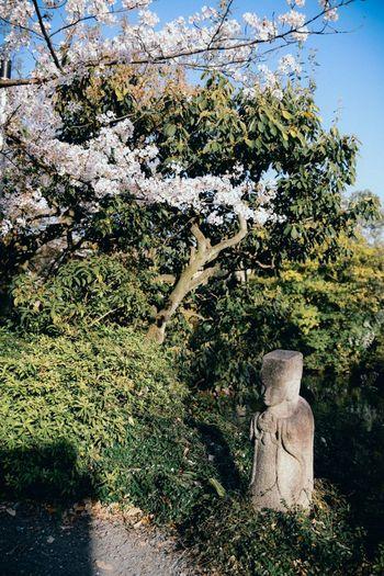 Sakura and statue Sakura Statue