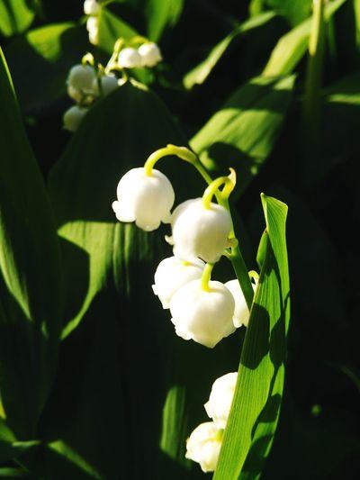 春の庭 Garden in spring. Flowers Flower Spring Flowers Ichikawa-shi Lily Of The Valley 花 すずらん 市川市