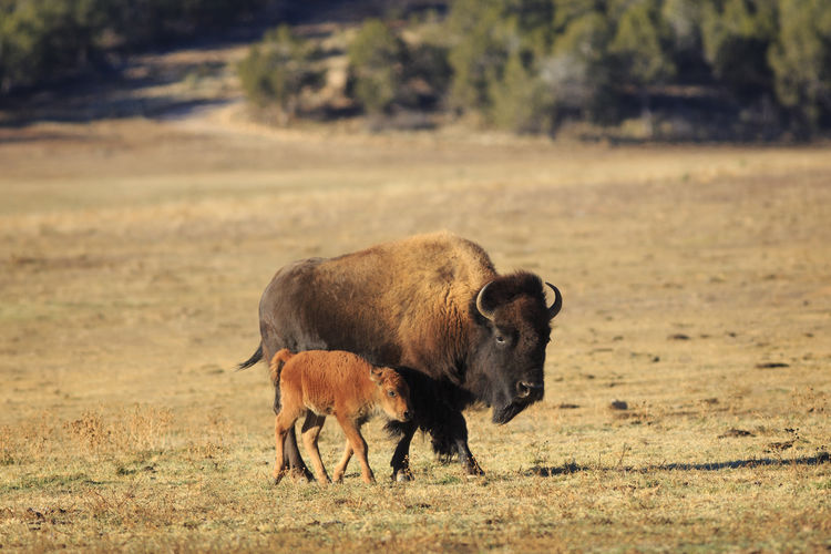 American bison with calf walking on field