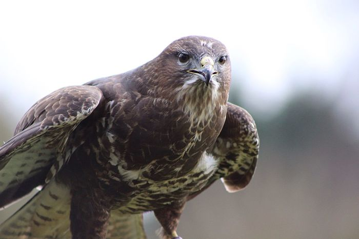 Common Buzzard Nature Birds Of Prey Stunning Birds Beautiful Stonham Barns Suffolk United Kingdom