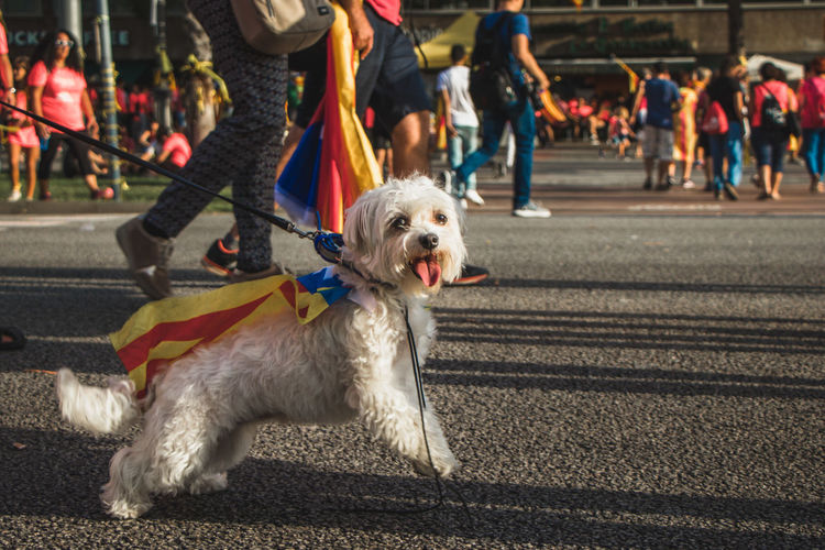 Barcelona, Spain - 09.11.2018 National day of Catalunya (Diada de Cataluña) Barcelona Barcelona, Spain Catalonia Catalunya Canine City Day Dog Domestic Domestic Animals Focus On Foreground Group Of People Incidental People Mammal One Animal Outdoors People Pet Owner Pets Real People Road Spectator Street Transportation Vertebrate