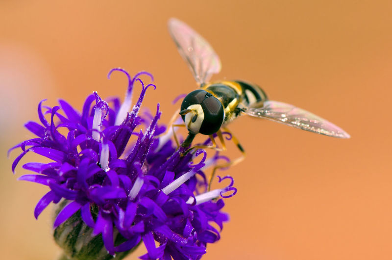 Hoverfly Beauty In Nature Bee Close-up Day Flower Flower Head Fragility Freshness Growth Hoverfly Hoverfly On Flower Insect Macro Nature No People One Animal Outdoors Petal Plant Pollen Pollination Purple