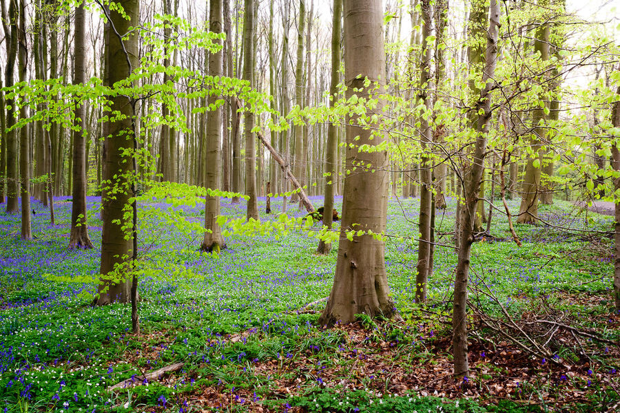 Belgium Blooming Bluebell Wood Bluebells Enchanted Forest EyeEm Nature Lover Forest Growth Hallerbos Hyacinth Landscape Leaves Nature_collection Outdoors Showcase April Spring Springtime Tranquil Scene Trees Wilderness WoodLand The Great Outdoors With Adobe The Great Outdoors - 2016 EyeEm Awards