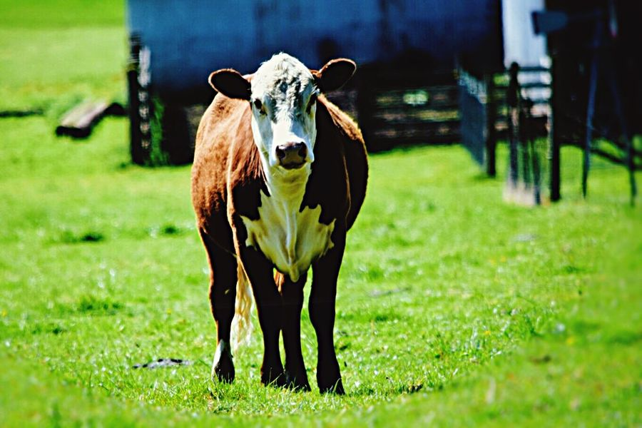 Good Afternoon 🐮 Farm Living Cows Up Front Up Close And Personal With Cows 2016 Photography BucketList Washington PNW At Its Finest