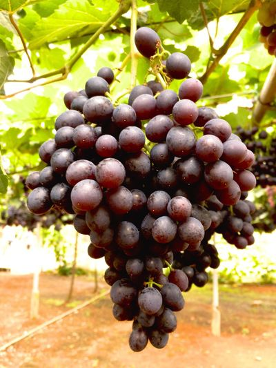 Grapes Vineyard Fruit Nature Close-up Winemaking Growth Grape Plant Tree Fruits ♡ Fruitful Year