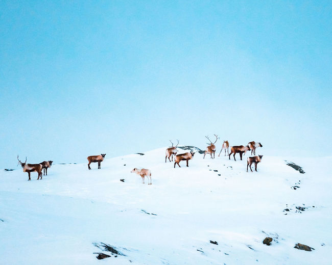 reindeer Frozen Nature Reindeer Cold Temperature Blue Snow Full Length Winter Following Group Of Animals Sky Animal Themes Antler Deer Horned Herbivorous Grazing Livestock Animal Migration Colony Moose Highland Cattle Herd Cattle