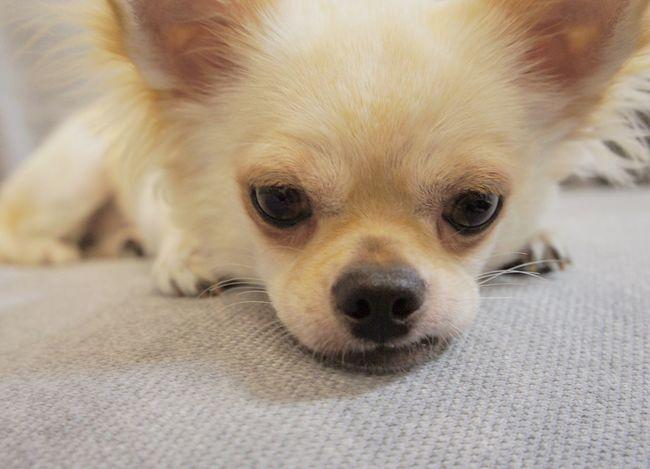 Louis♡ Cool Family Mydog Mydog♡ Lovely Summer Animal Cute First Eyeem Photo Love Chihuahua Dogs Japan Dog Japan Photography Hatlove 犬 Good Up
