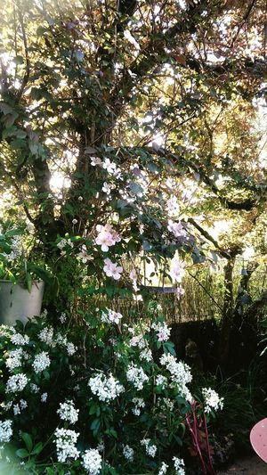 Spring is here Clematis Flower Choisya Ternata Perfume Collection For My Friends That Connect Goodnight Peace ✌ Plant Growth Day Flower Nature No People Tree Beauty In Nature Flowering Plant