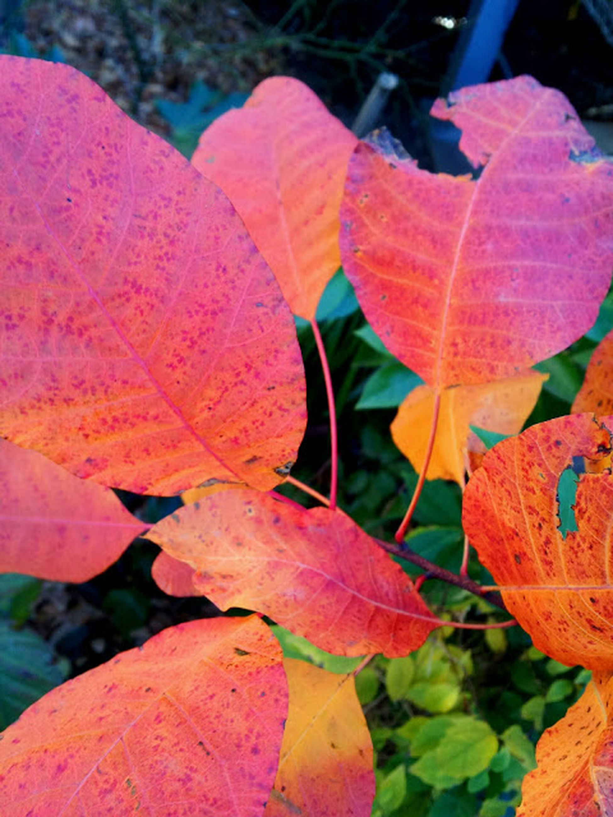 leaf, leaf vein, close-up, focus on foreground, autumn, nature, growth, season, change, fragility, beauty in nature, plant, natural pattern, orange color, leaves, day, red, outdoors, no people, tranquility