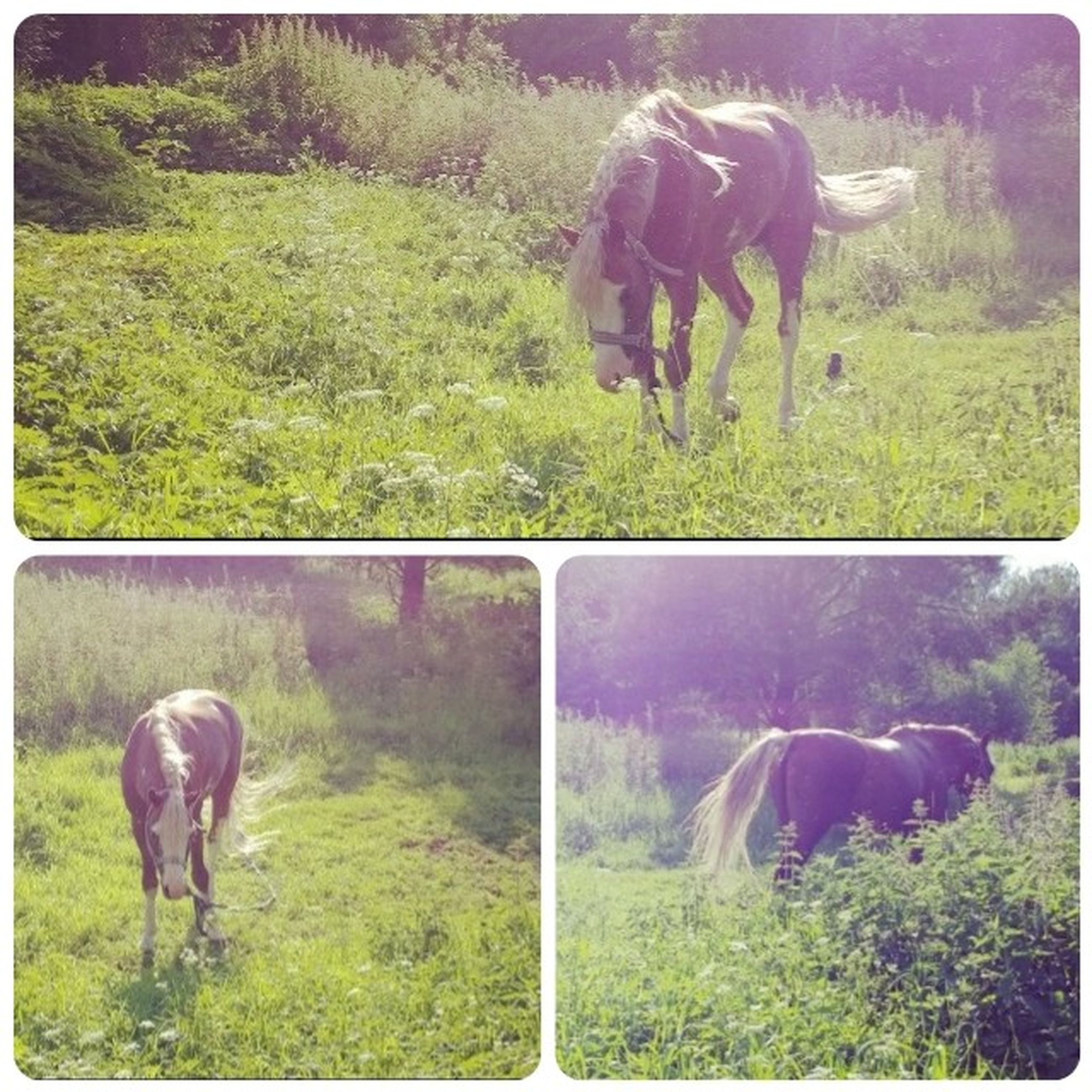 animal themes, domestic animals, transfer print, mammal, grass, livestock, field, auto post production filter, horse, two animals, grazing, grassy, standing, green color, herbivorous, cow, nature, zoology, pasture, landscape