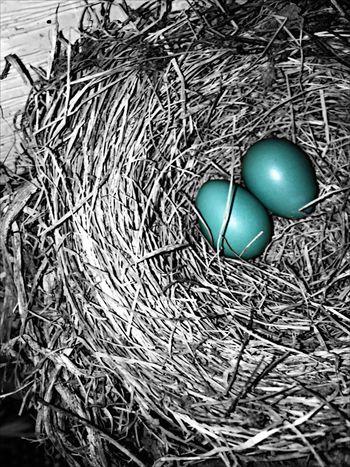 Nature Blackandwhite Colorsplash Robin Bird Eggs Nest Birds