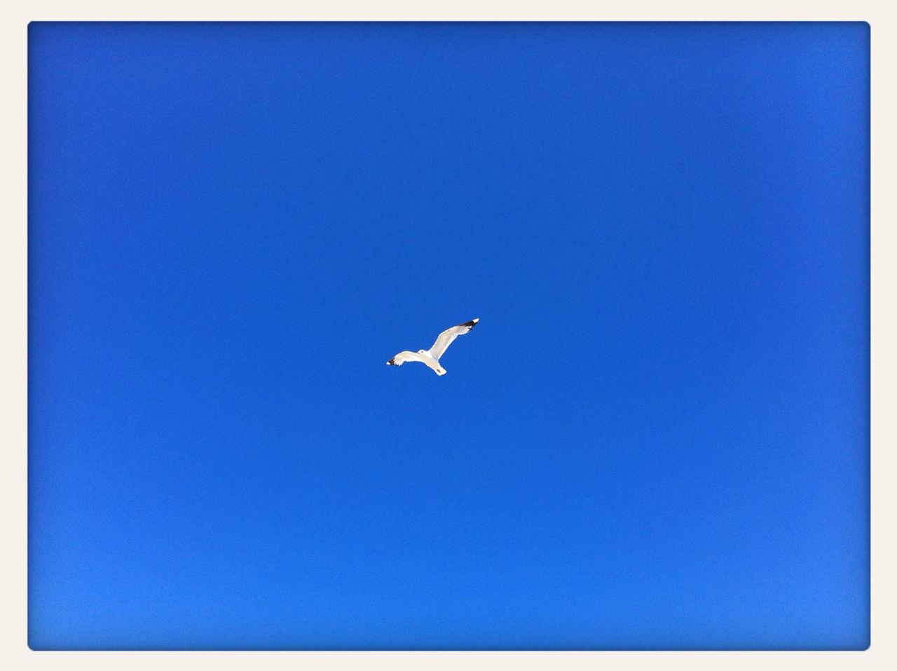 bird, copy space, one animal, clear sky, blue, animals in the wild, flying, spread wings, animal themes, low angle view, wildlife, mid-air, day, outdoors, no people, nature, full length