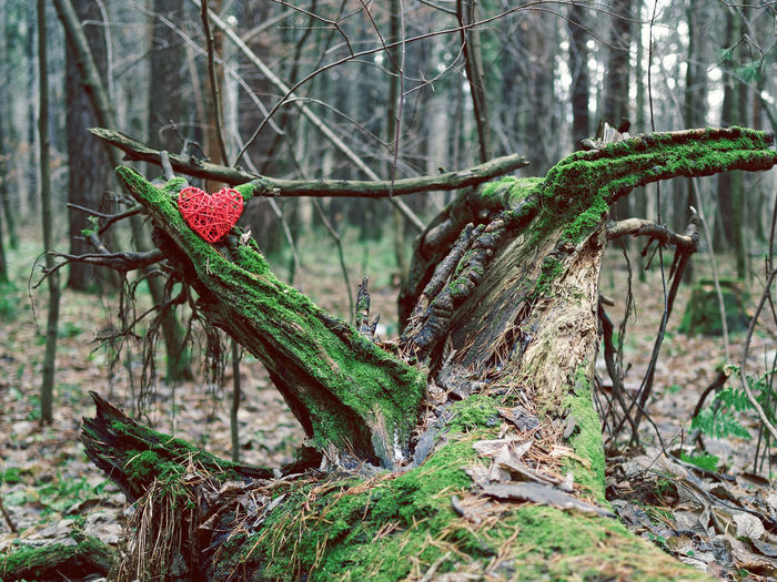 The red wicker heart is on an old snag covered with green moss. Around is an autumn or winter gloomy forest Valentine Wicker Branch Depression Forest Heart Melancholy Moss Nature No People Outdoors Silence Snag Sorrow Tree Tree Trunk