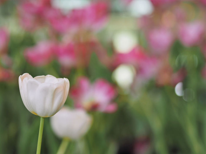 White tulip flower with pink flower background. Beauty In Nature Blooming Close-up Day Flower Flower Head Focus On Foreground Foral Fragility Freshness Growth Nature No People Outdoors Petal Plant Springtime Tulip