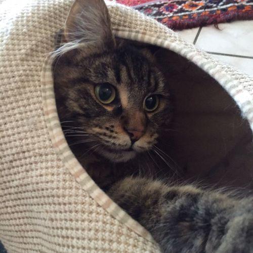 Cat Domestic Cat Feline