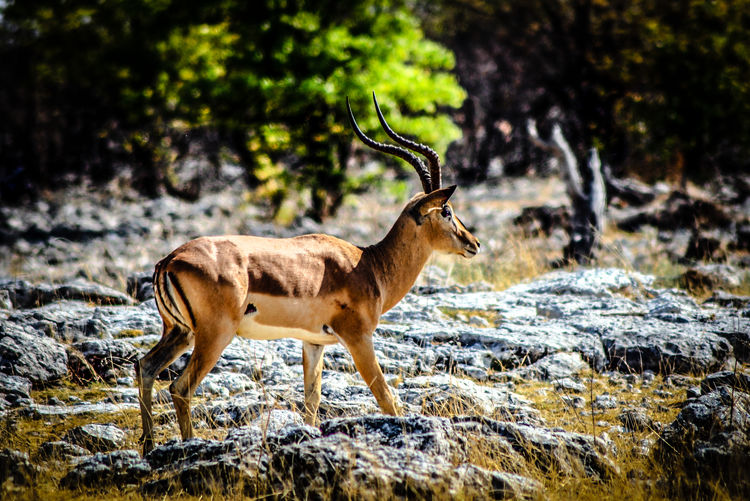 Springbok standing on rocky field in forest