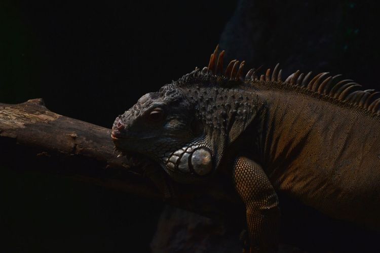 Close-up of iguana on a branch