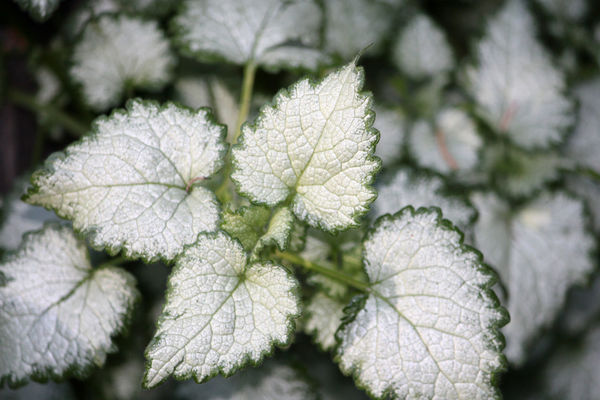 White Coleus Beautiful Close-up Coleus Flower Flowers Landscape Leaf Leaves Nature Nature Photography Nature_collection Outdoors Relaxing White White Color