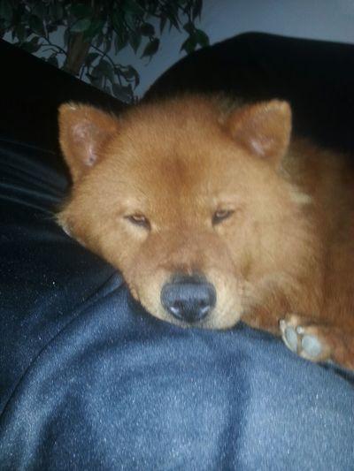 Olhar pessoas sou um urso 🐻🐶 Mydog Lovepet ChowChow Lovedog Dolly Dog Mylove
