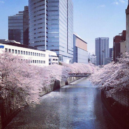 First Eyeem Photo Cherry Blossoms Spring Tokyo Street Photography Tokyo Drift