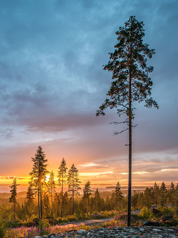 Finland Lakeaharju Lost In The Landscape Beauty In Nature Cloud - Sky Lakescape Landscape Nature No People Outdoors Pine Tree Scenics Scots Pine Sky Summer Sunset Tranquil Scene Tranquility Tree Perspectives On Nature