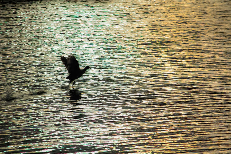 Taking flight. Duck Flight Bird Water Waterfront