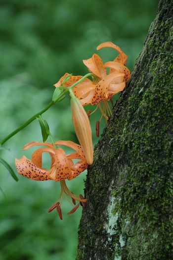 'Regret' Nature Growth Fragility Flower Petal Beauty In Nature Plant No People Tree Trunk Focus On Foreground Freshness Flower Head Tree Getting Inspired Fujifilm Fujifilm_xseries FUJIFILM X-T10 XF50-140mm Pro Neg. Hi The Purist (no Edit, No Filter) Tiger Lily Lily Flowerporn https://youtu.be/_c1w056MItU