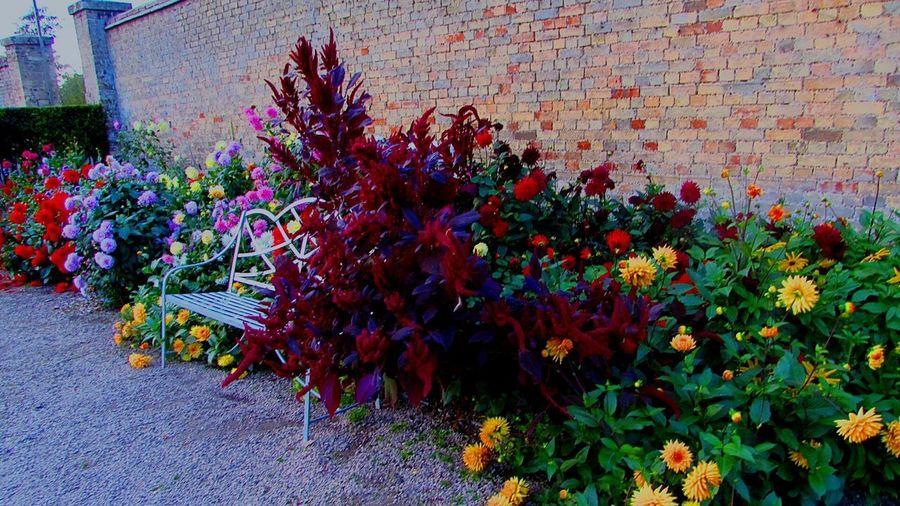 2017 Flower Growth National Trust 🇬🇧 Wimpole Hall, Garden Multi Colored Dahlia October October2017🍂🍁💛 Wimpole Estate Autumn Outdoors