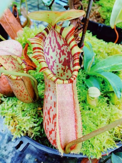Nepenthes Nepenthes  Monkey Cups Chiemexotic Pitcher Plant RarePlants Hugepitcher Close-up No People Freshness High Angle View Food Food And Drink Plant