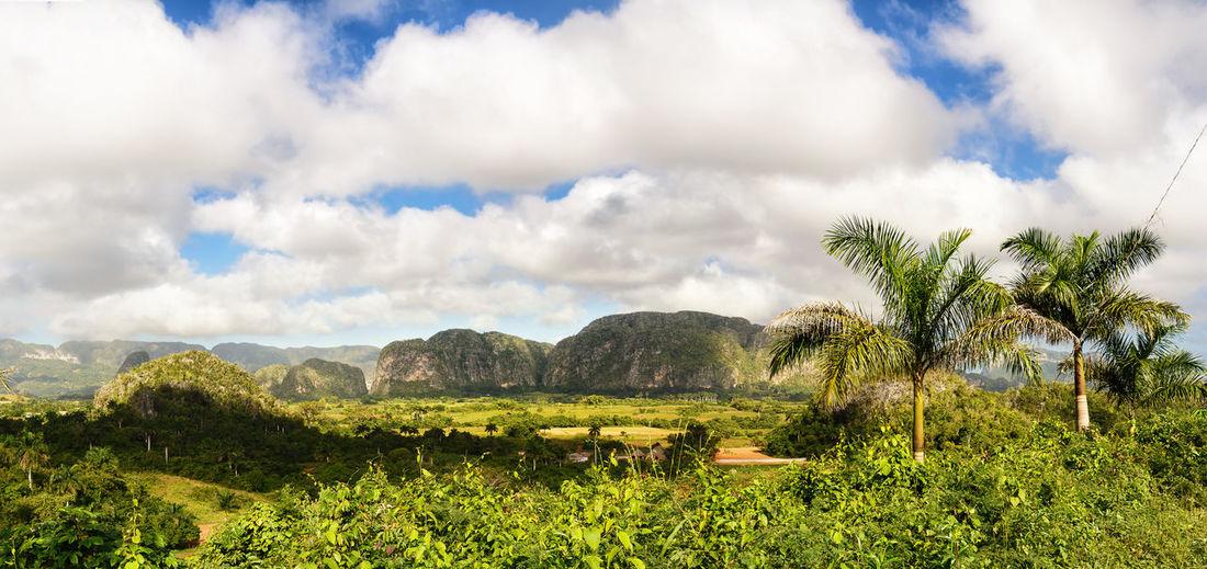 Panorama of the Valle di Vinales with the Mogotes and palm trees Cuba Hills Mogotes Viñales Cuba Palm Palm Tree Panoramic Pinar Del Rio Rural Viñales Viñales Valley, Cuba Aerial View Countryside Environment Landscape Lush Foliage Mogotes Mountains Scenics Tropical Unesco Valley Vinales Cuba Viñales Valley