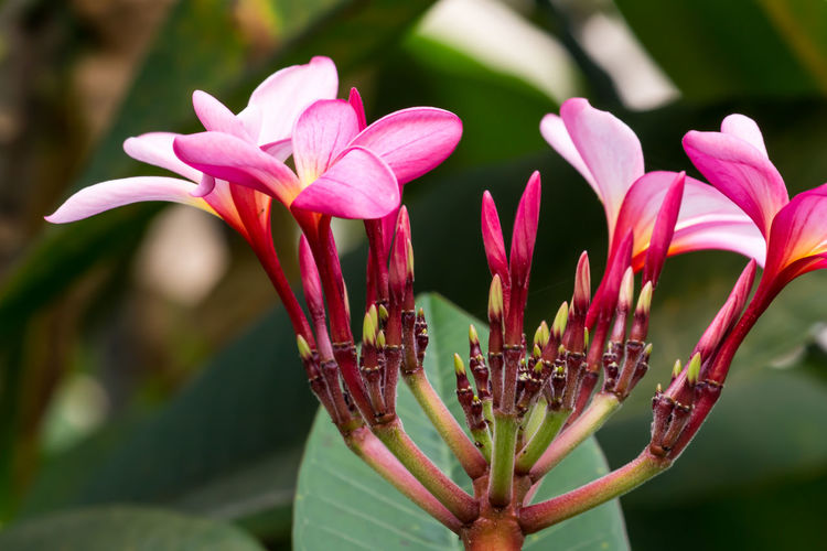 Beauty In Nature Plant Close-up Freshness No People Nature Tree Thailand Flower Background Plant Beutiful  Summer Pink Bloom Spring Garden ASIA Fresh Color