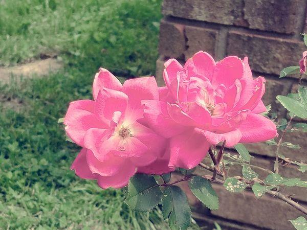 Flowers Brick Wall Nature Grass Pink Flowers