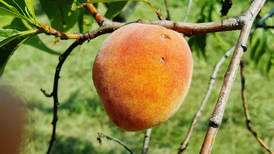 Peach Tree Peaches🍑 Pesca Fruits Photography EyeEm Best Shots - Nature EyeEm Nature Lover Eye4photography  Frutta Fresca EyeEm Best Shots Tree Fruit Hanging Close-up Food And Drink Fruit Tree