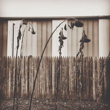 Fall Sunflowers Waiting On Snow