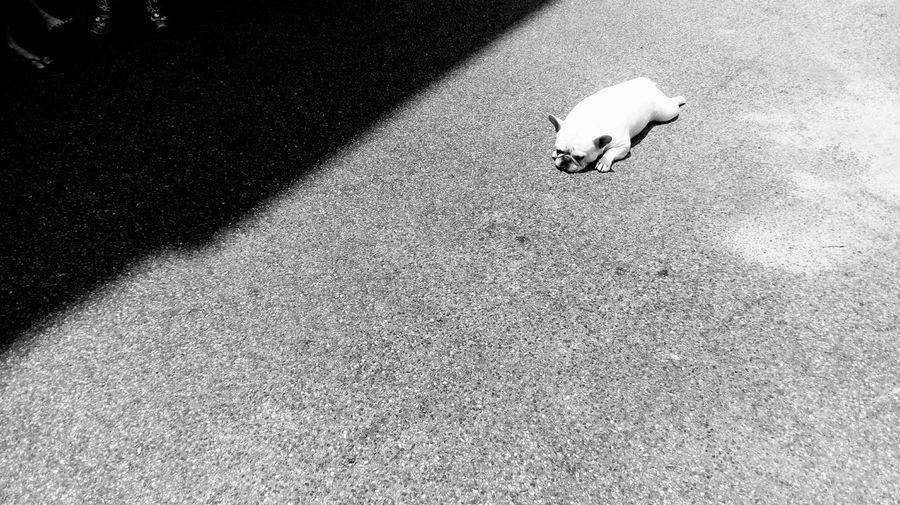 Sunbathing Street Photography Pets Corner Frenchbulldog Like A Frog French Bulldog Bulldogs Shades Of Grey Black And White Monochrome 鐵蛋 Always Be Cozy The City Light Resist Pet Portraits