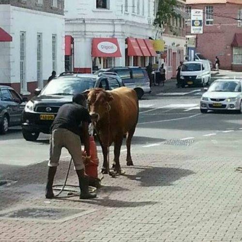ONLY IN GRENADA !!! Grenada Islandlivity Cow Town Hydrant Funny Onlyingrenada