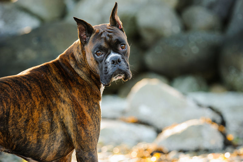 Boxer dog Animal Boxer, Brindle Canine Cropped Ears Day Dog Domestic Animals No People Outdoors