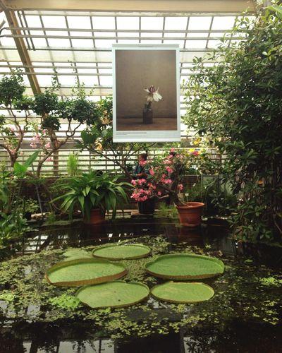 Botanicalgarden Victoriaregina Waterlily Hortusbotanicusleiden Green Plants Greenhouse