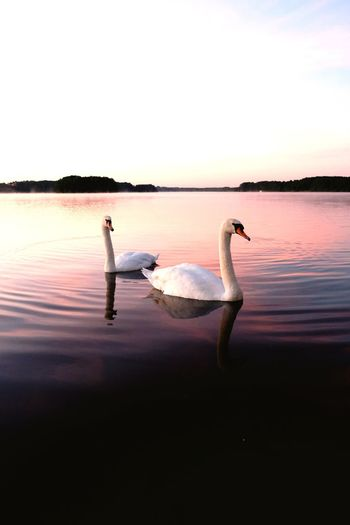 Bird Swan Animals In The Wild Animal Themes Reflection Swimming Water Water Bird Lake One Animal Animal Wildlife Sunset Nature Swimming Animal Beauty In Nature Tranquil Scene Animal Waterfront Scenics Tranquility Swans Lakeside Beatiful Let's Go. Together.