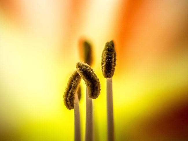 Macro Beauty of an Amaryllis bloom Flower Flower Collection Bloom Amazing Amaryllis Macro Macro_collection Macro_flower Close-up Florescence Pollen Belladonna Lily