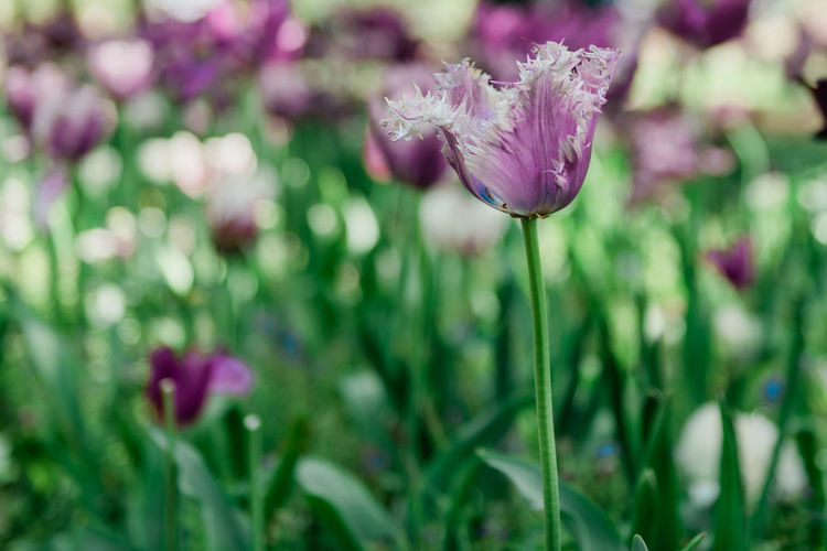 Tulips of Holland Flowering Plant Flower Plant Beauty In Nature Fragility Vulnerability  Freshness Growth Close-up Petal Nature Flower Head Inflorescence No People Plant Stem Focus On Foreground Purple Selective Focus Day Springtime Tulip Tulips🌷 Tulips In The Springtime