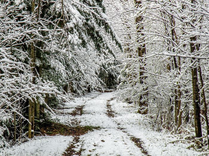 Snow covered footpath amidst trees in forest